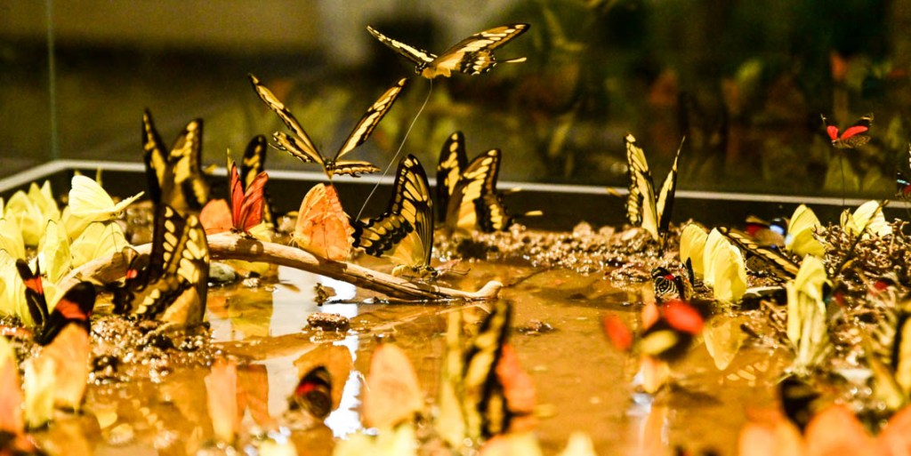 Schmetterlinge aus dem peranischen Regenwald