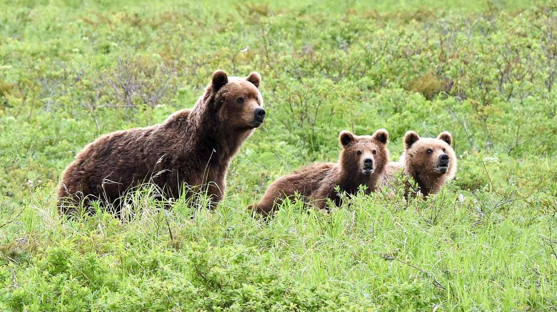 Ein Weiblicher Kamtschatka-Braunbär mit zwei vorjährigen Jungen Foto: Malte Seehausen