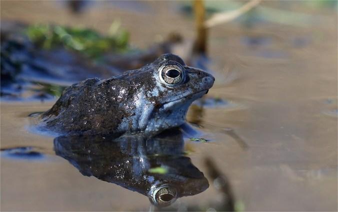 """Aufnahme vom März 2014. Dieser Moorfrosch hatte """"Moor"""" auf dem Rücken."""