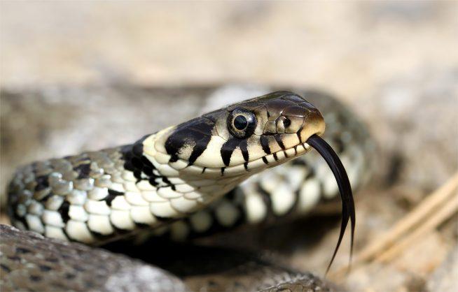 Ringelnatter, Natrix natrix. Sie ist ungiftig wie man an den runden Pupillen erkennen kann. Ich mag sie sehr leiden. Diese heimische Schlange ist ungefährlich.