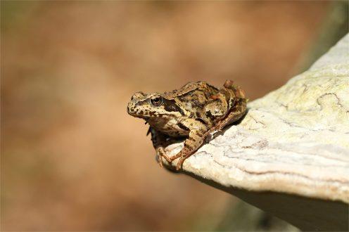 Grasfrosch auf einem Baumpilz.