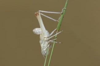 Kleiderwechsel auch bei den Heuschrecken. Nicht alle Insekten wechseln die Kleider, doch Heuschrecken ,Raupen und auch Spinnen wachsen aus ihrer Haut heraus. Fliegen, Wespen, Ameisen häuten sich nicht. Um nur einige Beispiele zu nennen.
