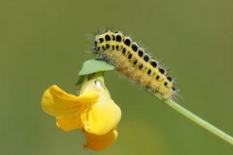 Gelbe Sinfonie - Raupe vom Sechsfleckwidderchen auf ihrer Futterpflanze