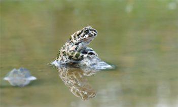 Wechselkröte (Bufo viridis), aufgerichtet , Bild 5
