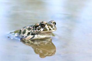 Wechselkröte (Bufo viridis) Bild 4