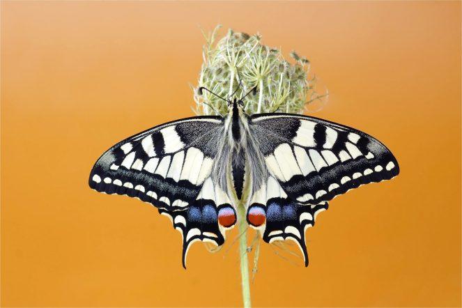 Überwältigend schön - Schwalbenschwanz der 2. Generation (Papilio machaon)