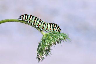 Gewichtsproblem? Raupe vom Schwalbenschwanz in der Oberlausitz - (Papilio machaon)