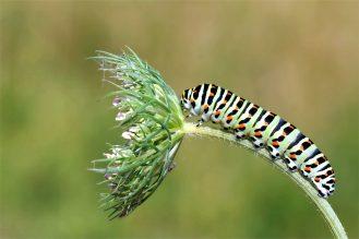 Möhrchenliebhaber - Raupe vom Schwalbenschwanz - (Papilio machaon)