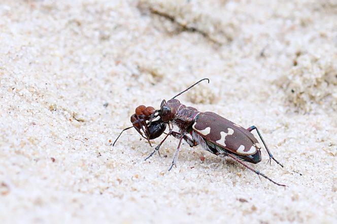 Dünensandlaufkäfer (Cicindela hybrida) mit Futter: Waldameise