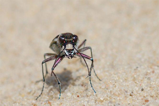 Hochbeinig und von vorne: Dünensandlaufkäfer (Cicindela hybrida)