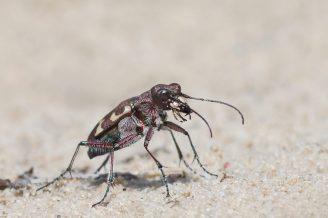 Käfer Hochbein. Dünensandlaufkäfer (Cicindela hybrida) im heißen Sand.