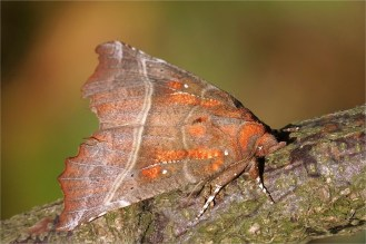 Zackeneule - Scoliopteryx libatrix