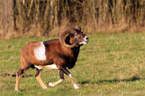 Prächtiger Mufflon-Widderbock