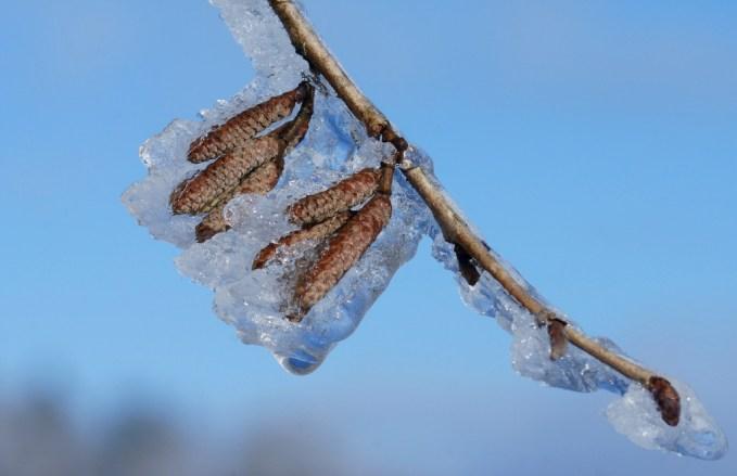 Eiskätzchen der Baumhasel