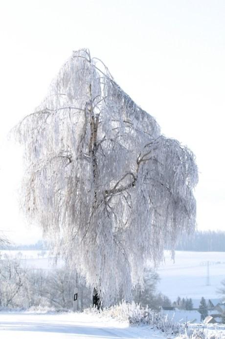 Birke im Eismantel