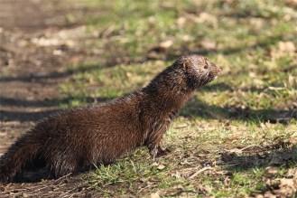 Kurzer Halt auf dem Weg : Ein Mink