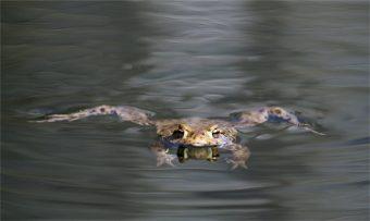 Erdkröte im Wasser mit Spiegelung