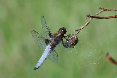 Plattbauchlibelle - Männchen