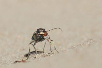 Das Dritte Auge... Dünensandlaufkäfer mit Waldameise, die sich an ihm verbissen hat.