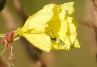 Gemeine Nachtkerze (Oenothera biennis), auch als Gewöhnliche Nachtkerze