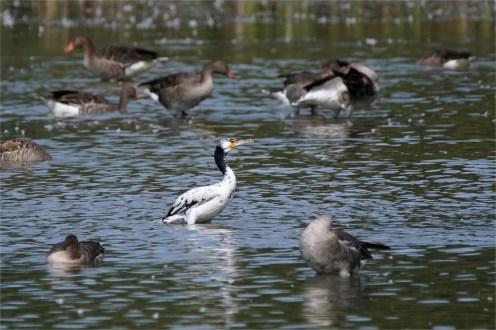 Fast weißer Kormoran zwischen Graugänsen - Kormoran (Phalacrocorax carbo)
