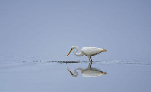 Tanzende Tropfen - Silberreiher - Egretta alba - am Morgen