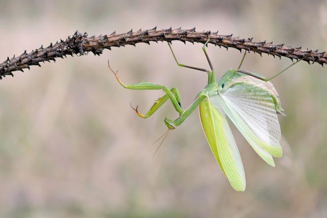 Mein Traumfoto: Eine Europäische Gottesanbeterin mit geöffneten Flügeln! Mantis religiosa