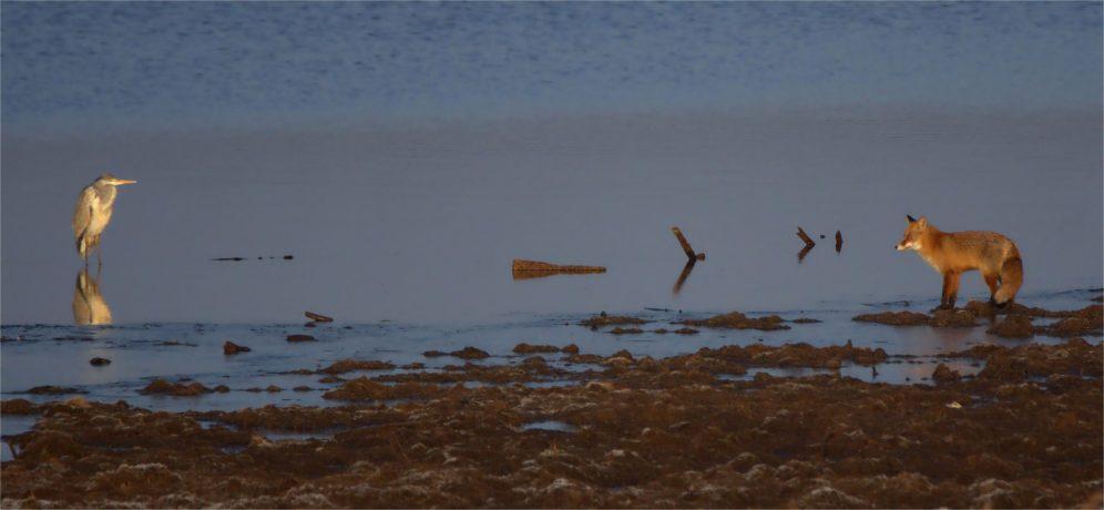 Gegenüberstellung -Fuchs und Reiher - Vulpes vulpes und Ardea cinerea - 1