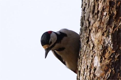 Buntspecht am Apfelbaum -, Dendrocopos major-