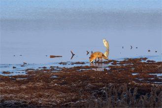 Völlig friedlich: Graureiher und Fuchs