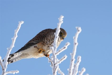 Turmfalkenweibchen auf Winterwunderlandbaum , Falco tinnunculus