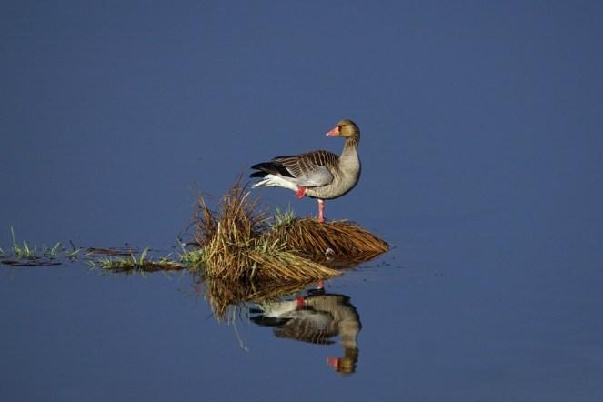 Inselschönheit : Graugans - Anser anser