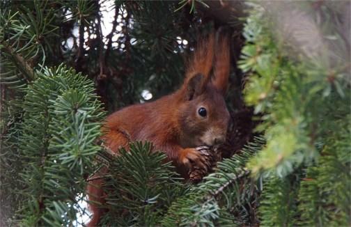 Beim Fressen: Eichhörnchen (Sciurus vulgaris)
