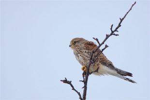 Turmfalke, Weibchen - (Falco tinnunculus)