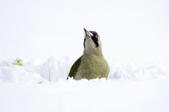 Schneeschnabel, Picus viridis