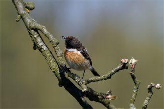 Schwarzkehlchen - Saxicola rubicola - Männchen auf Ast - mit Futter im Schnabel