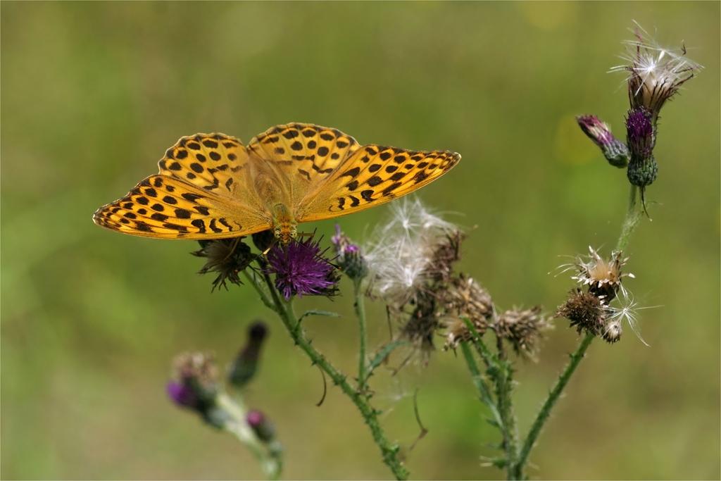 Kaisermantel - Edelfalter- Weibchen
