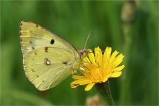 Gelbe Blüten bevorzugt : Goldene Acht