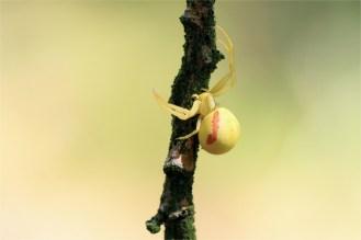 Veränderliche Krabbenspinne (Misumena vatia)