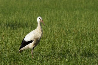 Storch am Morgen