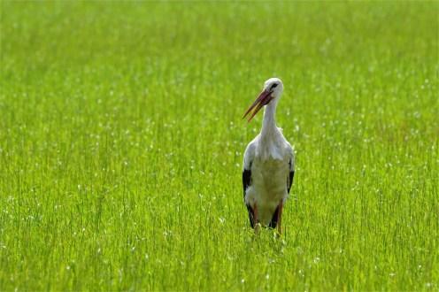 Storch am Mittag