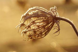 Wilde Möhre im Frost am frühen Morgen