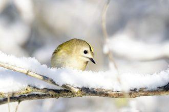 Wintergoldhähnchen im Schnee -( Regulus regulus) i