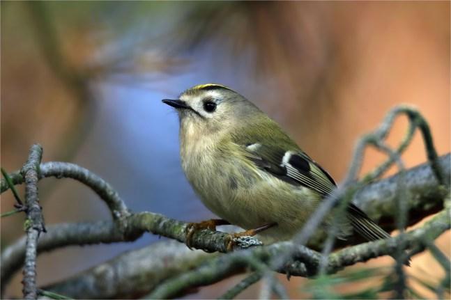Wintergoldhähnchen mit schönem Hintergrund- Regulus regulus -