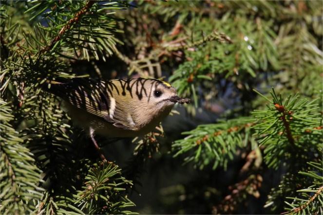 Wintergoldhähnchen mit vollem Schnabel - Regulus regulus -