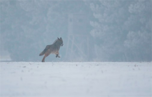 Wolf (Canis lupus) 3