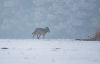Wolf (Canis lupus) 6