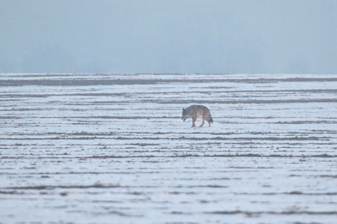 Wolf (Canis lupus) 2