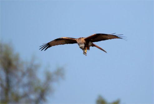Rotmilan Milvus milvus - gefressen wird im Flug