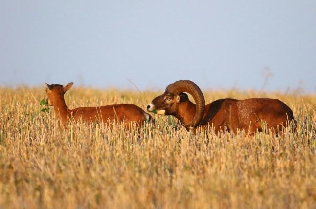 Futter im Rapsfeld - Mufflon (Ovis gmelini-Gruppe)